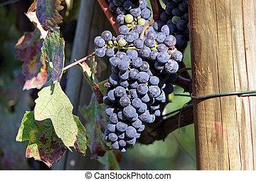 uvas pretas, grupo