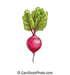 vegetal, folhas, raiz, rabanete, isolado, verde