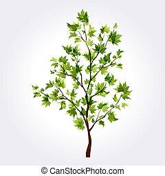 verão, árvore., maple