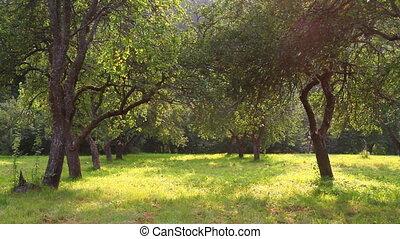 verão, jardim, maçã