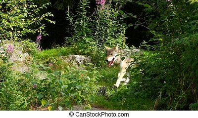 verão, lobo