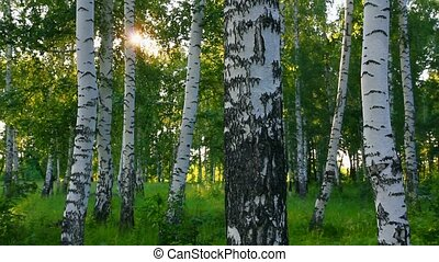 verão, madeiras, rússia, vidoeiro