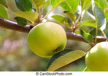 verde, árvore fruta, maçã, ramo