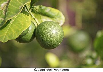 verde, árvore., limão
