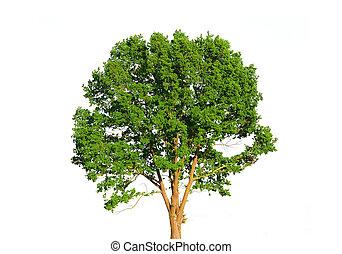 verde branco, árvore, isolado