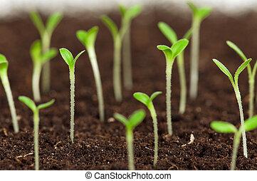 verde, seedling