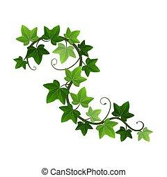 verde, vetorial, hera, experiência., planta suspensão, parede, ramo, hedera, videira, ilustração, creeper, element., botânico, isolado, ou, branca, desenho, escalando