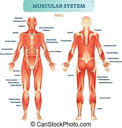 vetorial, anatômico, corporal, macho, educacional, esquema, músculo, muscular, cheio, sistema, poster., ilustração, diagrama