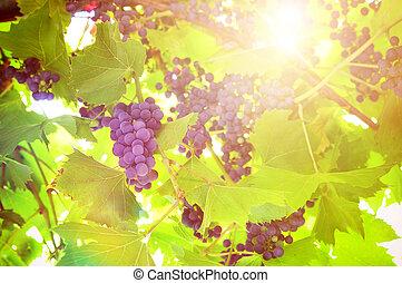 vinhedo, planta, uvas pretas, grupo