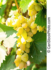 vinhedo, uvas, grupo