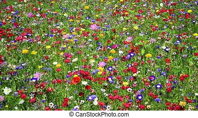 wildflowers, prado, coloridos